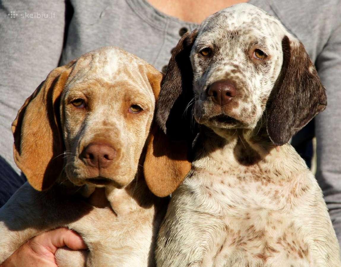 Burbonų brakai - šiuo metu turime šuniukų !
