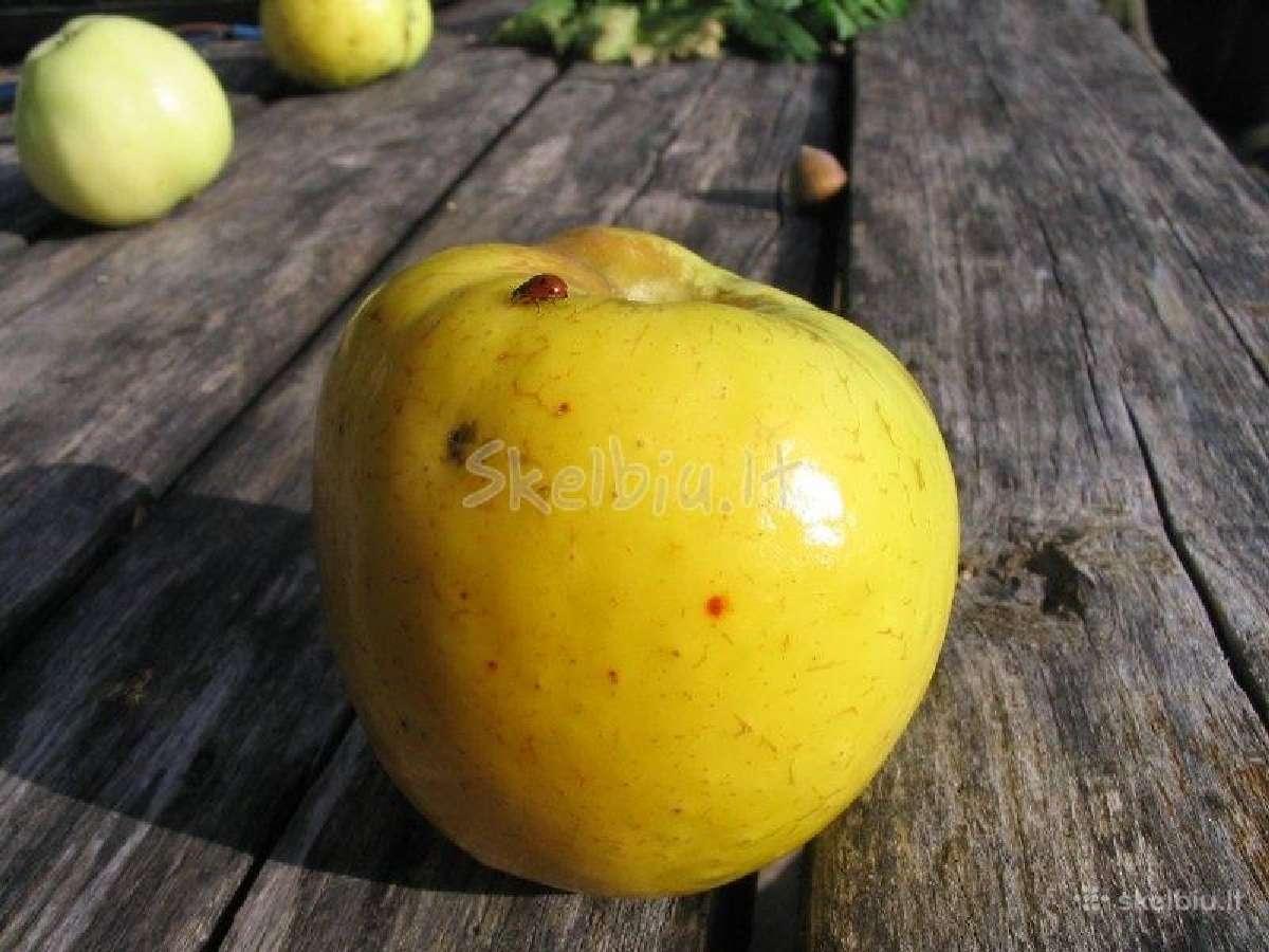 Ekologiški įvairių veislių obuoliai