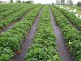 Agro plėvelės juoda (braškėms) bei balta nuo šalnų
