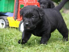 Kilmingi labradoro retriverio šuniukai