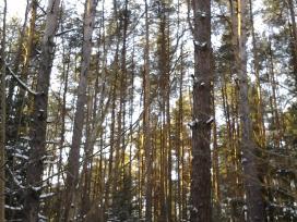 Dalis miško Šalčininkų raj.