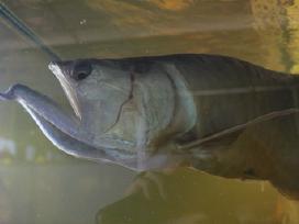"""""""Akvarika"""" Akvariuminės žuvys"""