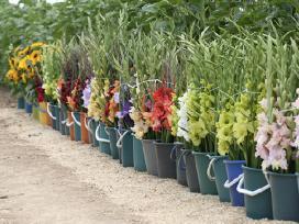 Gėlių sodinukai, gausus pasirinkimas