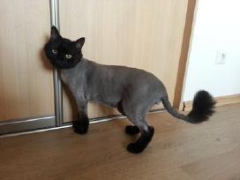 Kačių kirpimas Jūsų namuose arba kirpykloje!