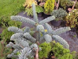 """Parduodu tujas """"smaragd"""", """"brabant"""" ir kt. augalus"""