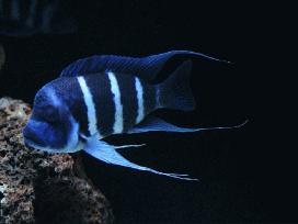 "Cyphotilapia frontosa blue Zaire ""Moba"""