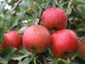 RUBIN- žieminės obelys