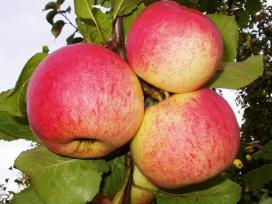 AUKSIS rudeninės obelys