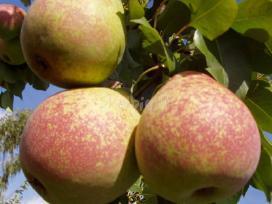 MRAMORNAJA - rudeninės kriaušės