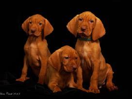 Elitiniai trumpaplaukių vengrų vižlų šuniukai