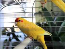 Soklioji(kakariki) N.Zelandijos papuga