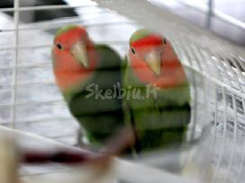 raudonskruosciai agaporiniai