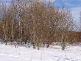Krūmų medžių kirtimas apleistose žemėse
