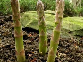 Smidrai(asparagai)sodinimui Olandija