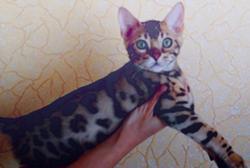 Bengalijos kačiukai