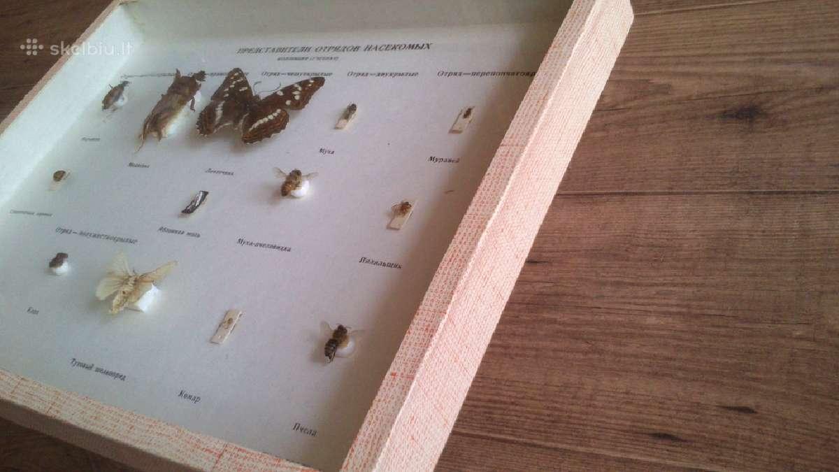 Dziovintų vabzdžių kolekcija