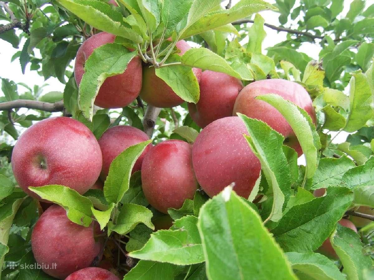 Parduodu ekologiškas obuolių sultis