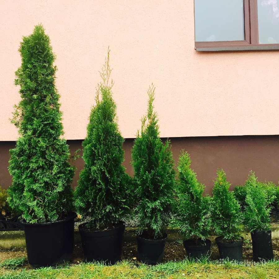 Tujos Smaragd_pristatymas Visoje Lietuvoje