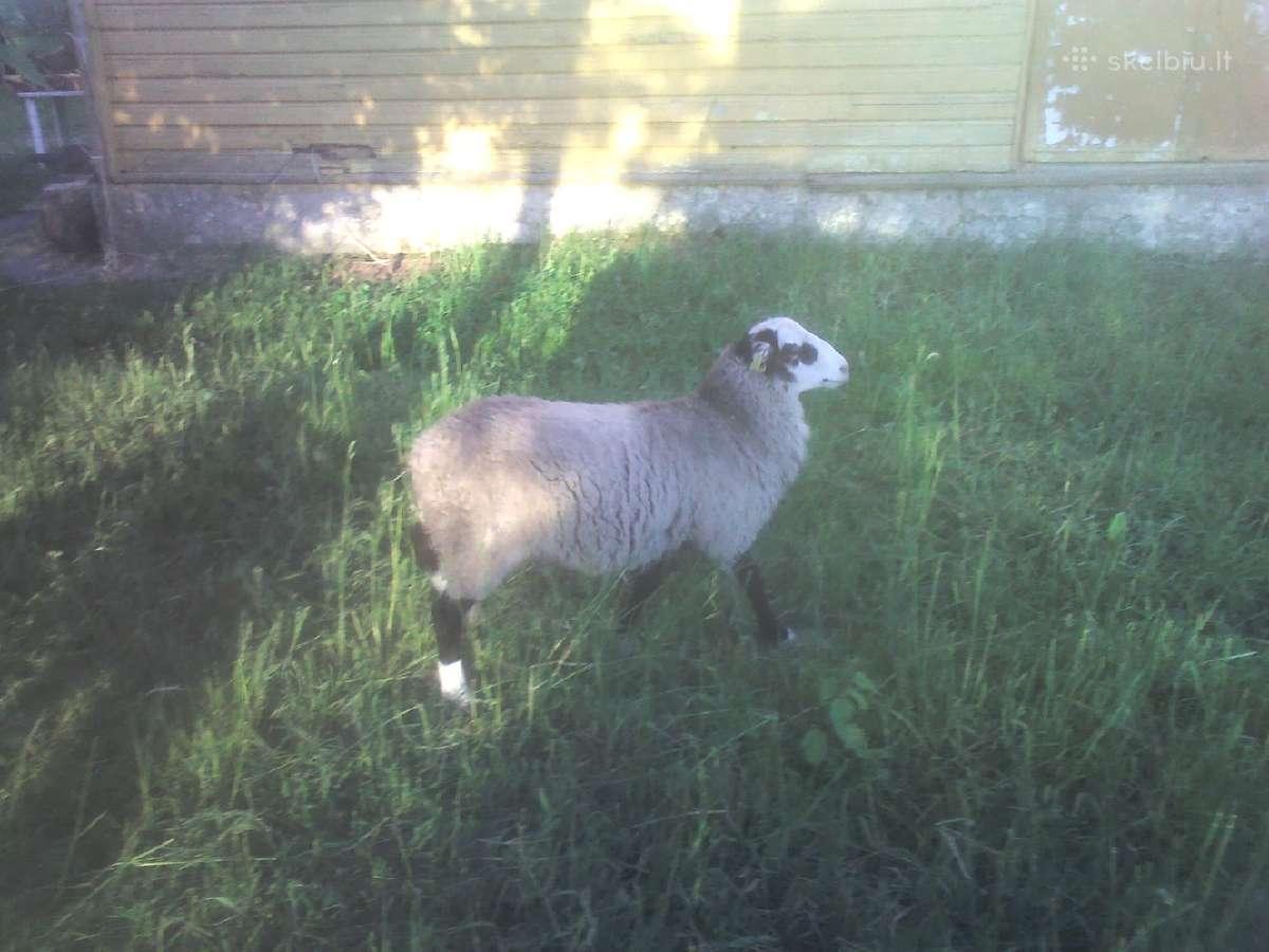 Grynaveislės romanovo avys
