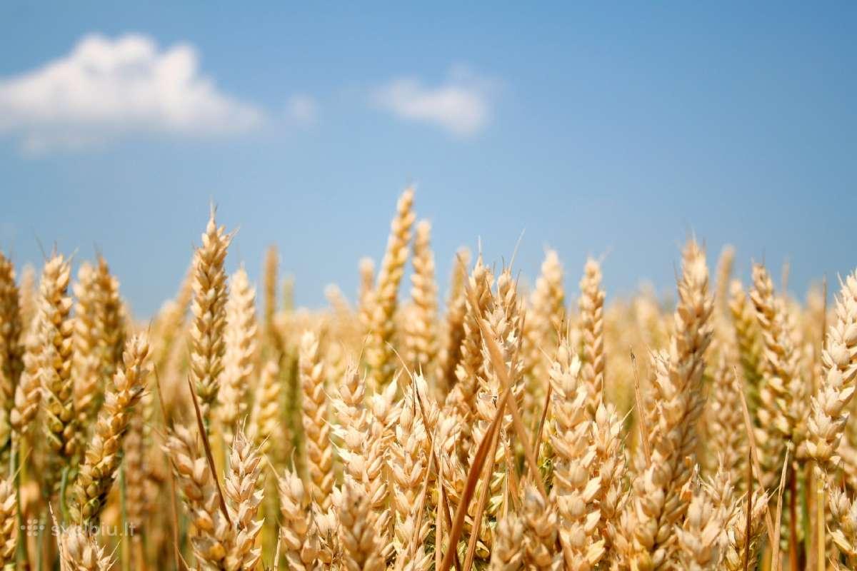 Ūkininkas išsinuomotu dirbamos žemės Pakruojo Raj.