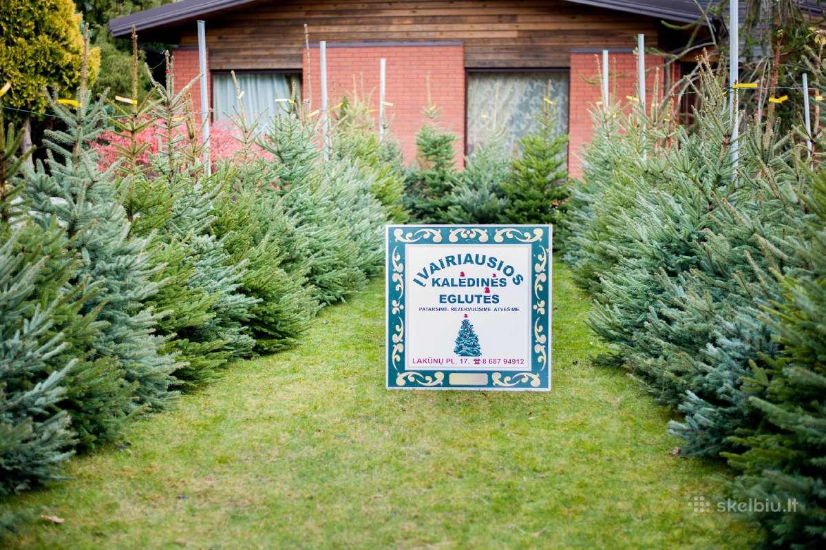 Kalėdinės eglutės vazonuose ir kirstos