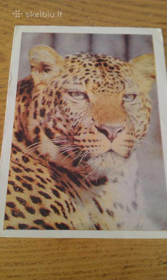 Leopardas iš Kauno zoologijos sodo 1975 Vaga
