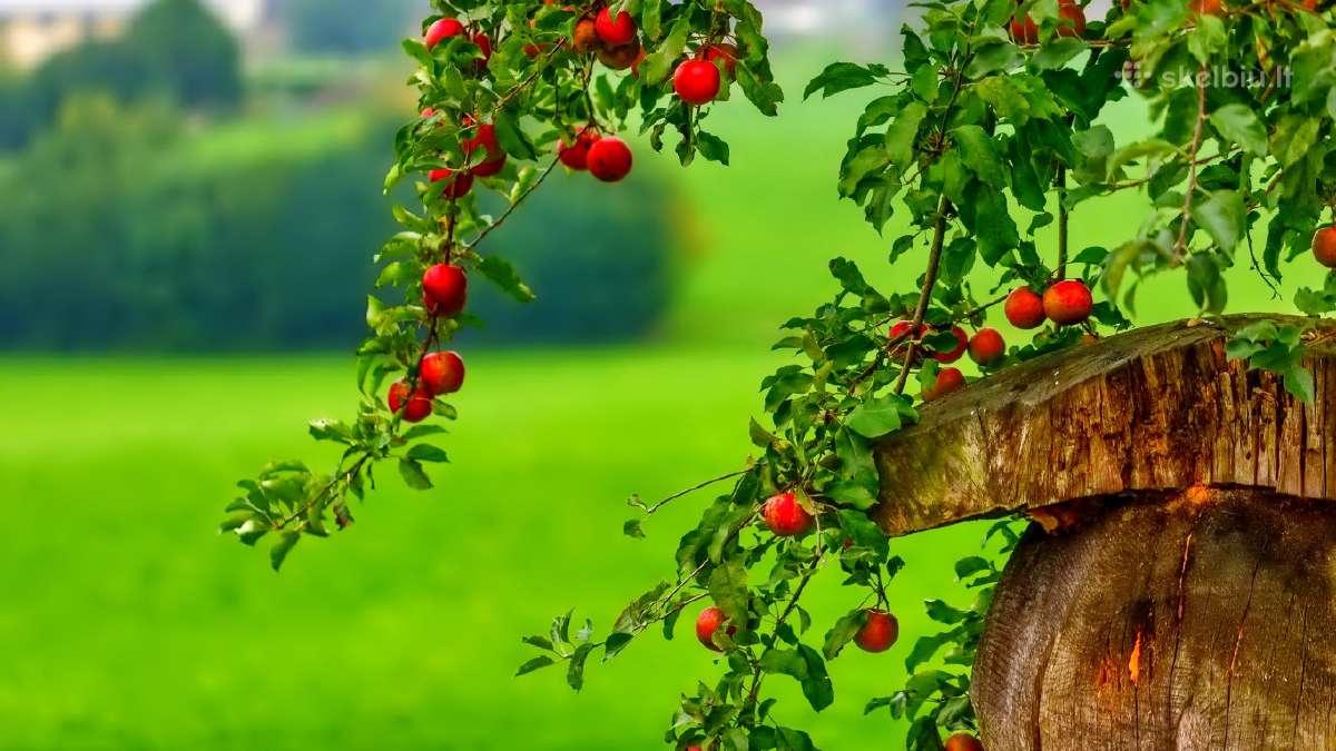 Obuolių sulčių spaudykla,spaudimas.