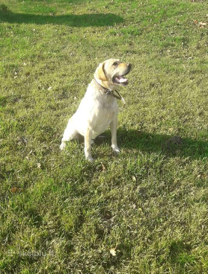 Labradoro retriveris ieško patelės.
