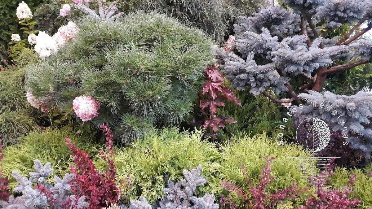 Dekoratyviniai augalai auginti Lietuvoje