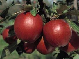Vaismedžių sodinimas ir priežiūra