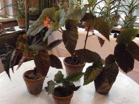 Vaistiniai augalai ir kambarinės gėlės - nuotraukos Nr. 5