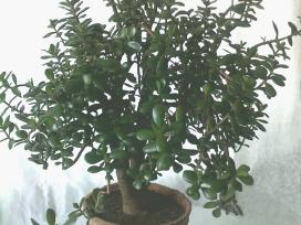 Vaistiniai augalai ir kambarinės gėlės - nuotraukos Nr. 8