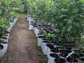 Augalai vazonuose