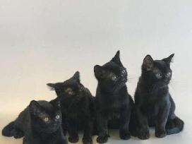 Bombay kačiukai