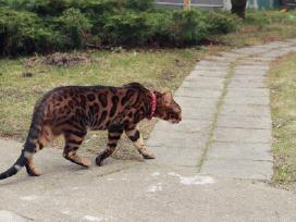 Dingo Bengalijos katinas! Galimai pasisavintas