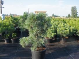 Skiepintos pušys,kiti augalai