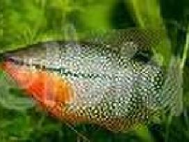Gautos žuvytės,nuolaidos. - nuotraukos Nr. 5