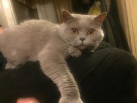Škotų stačiaausis katinas