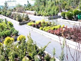 Tujos, pušys, dekoratyviniai augalai