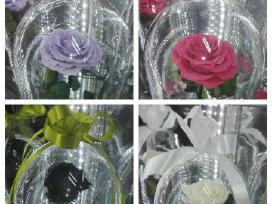 Rožės po kupolu