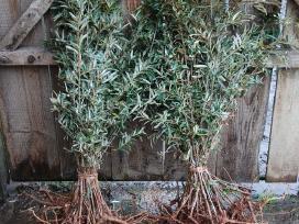 Parduodu šaltalankių sodinukus šaltalankiai