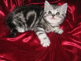 Britų trumpaplaukis kergimui, turim kačiukų su dok - nuotraukos Nr. 6