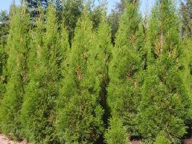 Tujos Smaragd gyvatvorėms 1,3 m po 10 Eur