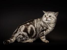 Britų trumpaplaukis kergimui, turim kačiukų su dok - nuotraukos Nr. 3