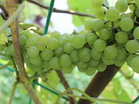 Vynuogės SEYVE VILLARD