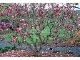 Magnolijų sodinukai ir medžiai