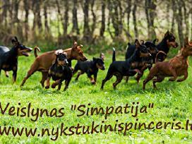 Nykštukinio pinčerio veislės šuniukai