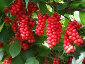 Vaismedžiai,vaiskrūmiai,dekoratyviniai Augalai