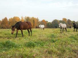 Brangiai perka arklius