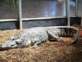 Nilo krokodilas